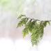 Cedar tree branch by fayefaye