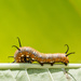 Caterpillar in colour