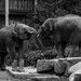 Day 130 ~ Elephants playing by nicoleterheide