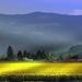 Daffodil field by teiko