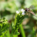 Sunshine, wildflowers, and a hoverfly by cjwhite