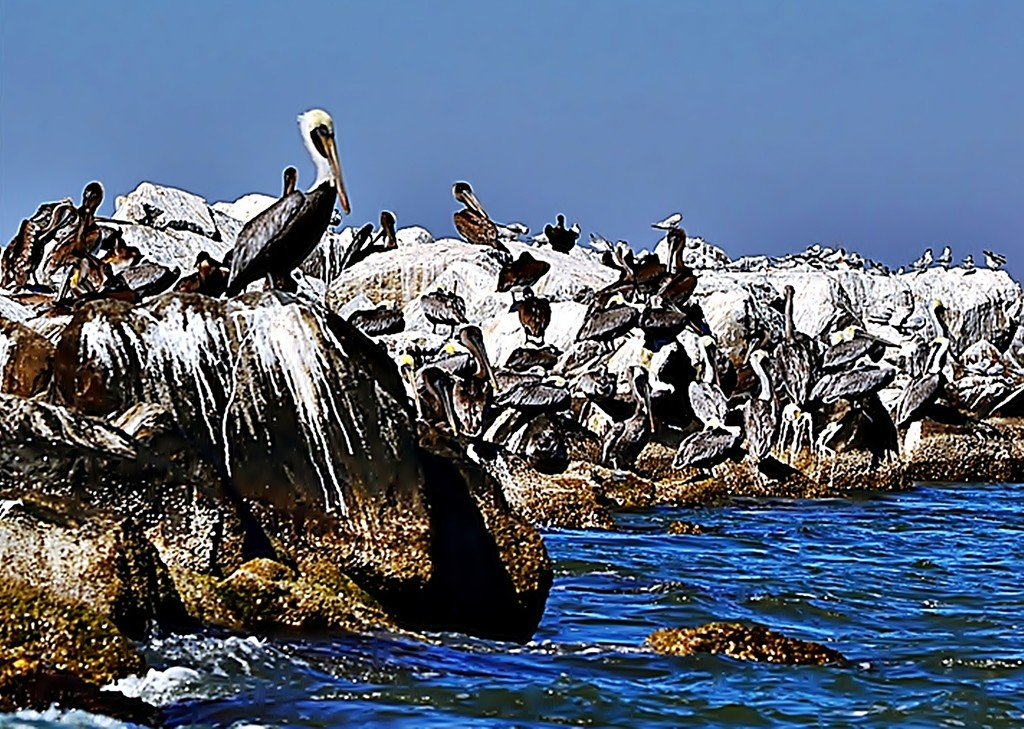 Pelican king by soboy5