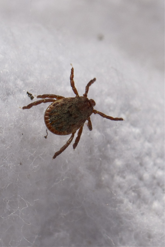 Pacific Coast Tick, Dermacentor occidentalis by robv