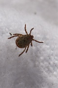 3rd Nov 2010 - Pacific Coast Tick, Dermacentor occidentalis