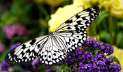17th Mar 2015 - Butterfly Fascination