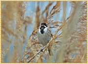 19th Mar 2015 - Reed Bunting (Swanwick Lakes)