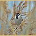 Reed Bunting (Swanwick Lakes)