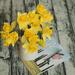 Daffodil life