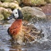 White-faced whistling duck, washes by gamelee