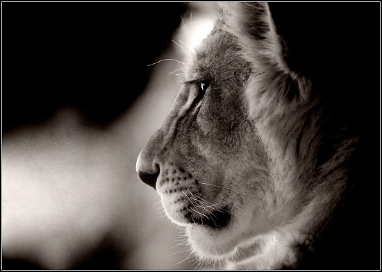 Lion Cub by aikiuser