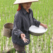 Fertilising the rice by flyrobin