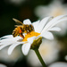 Be Be Be Be Be Be Be Be Be BEE on Daisy by gigiflower