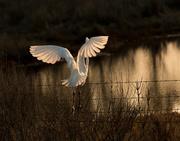 16th Mar 2015 - Runaway egret
