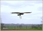 21st Mar 2015 - Harris' Hawk In Flight