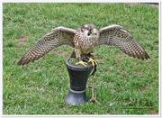 22nd Mar 2015 - Peregrine Falcon