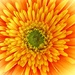 Burst Of Gerbera Sunshine