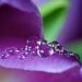 More tulip drops