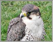 23rd Mar 2015 - Hybrid Falcon