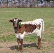 19th Mar 2015 - Baby calf