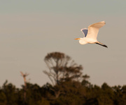 24th Mar 2015 - Egret flying