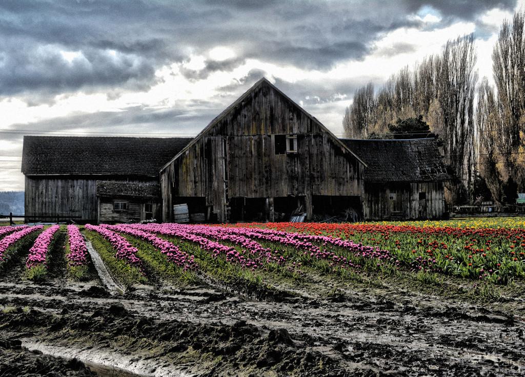 ~Tulip Fields~ by crowfan