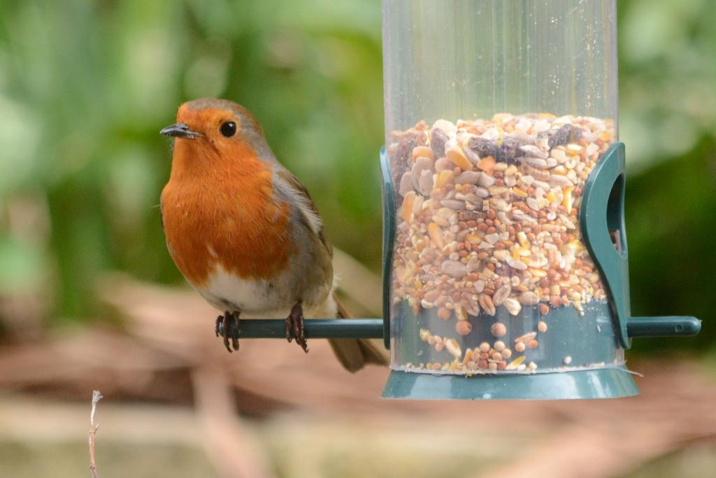 Robin by richardcreese