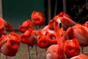 25th Mar 2015 - Flamingo naptime