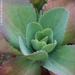 Succulent in Jade