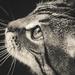 Kitty Whisker