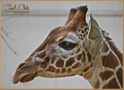 26th Mar 2015 - Young Giraffe