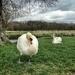 Murder most fowl.... by judithg