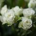 Tea Roses by loweygrace