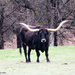 Black Longhorn Steer