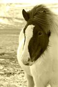 27th Mar 2015 - Icelandic Horse.