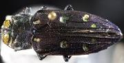 5th Nov 2010 - Purple Beetle 2