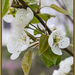 Pear blossoms by randystreat
