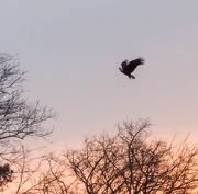 28th Mar 2015 - I will rise, on eagle's wings
