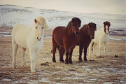 28th Mar 2015 - More from those Icelandic horses.