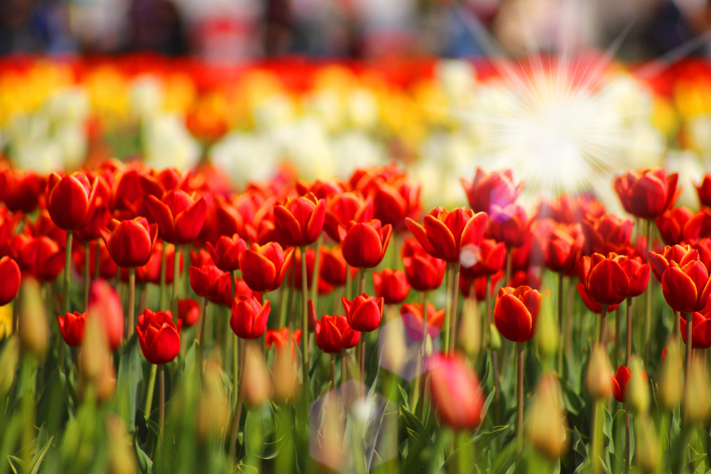 Tulips on fire by teiko