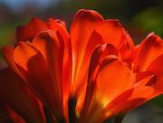 19th Mar 2015 - Orange Flowers