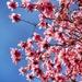 Magnolias by swillinbillyflynn