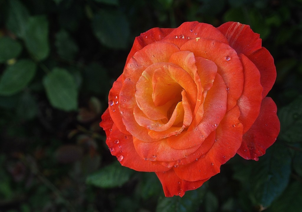 Garden Variety Rose by redy4et
