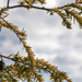 Little pine cones