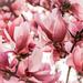 Pretty in Pink by milaniet