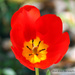 Another Red Tulip