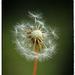 Dandelion by rustymonkey