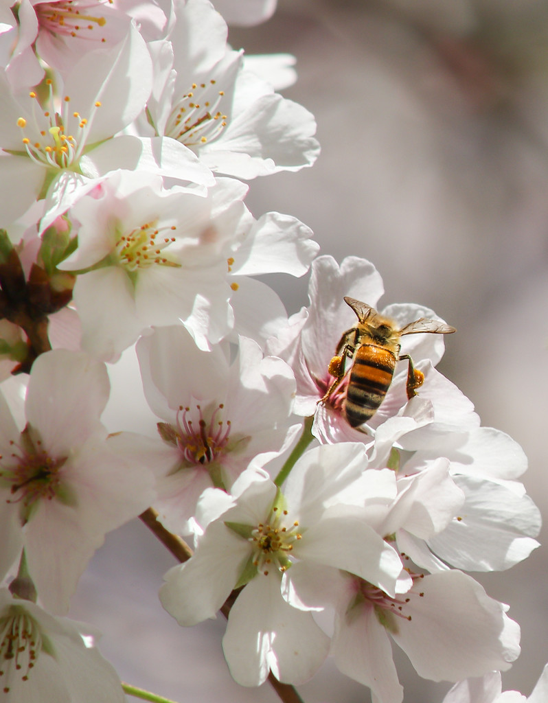 Bee with Saddle Bags while on Cherry Tree Tour by darylo