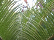 6th Nov 2010 - Opened Fronds