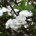 Bridal Wreath in Bloom