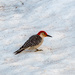 Red bellied woodpecker - first ever sighting! by joansmor